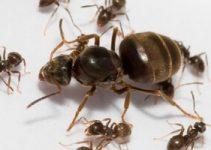 Como conseguir una hormiga reina